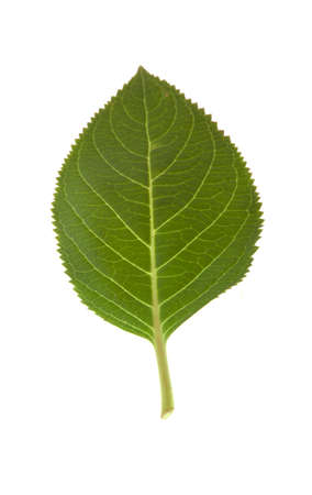 A leaf isolated on a white background. Stock fotó