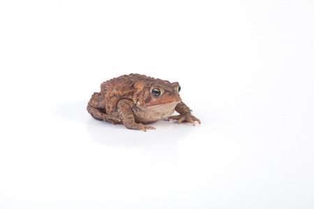 A toad isolated on a white background.