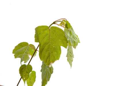 Beautiful leaves isolated on a white background.