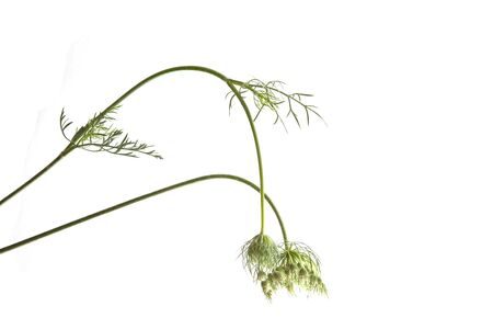Queen Anne's Lace isolated on a white background.