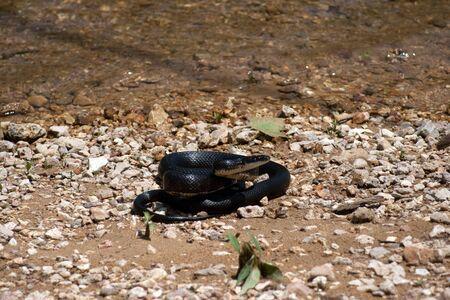 강 해변에서 검은 뱀.