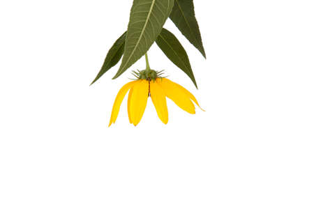 A yellow wildflower on a white background. Reklamní fotografie
