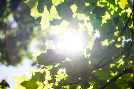 Sun peeks between the maple leaves Banco de Imagens