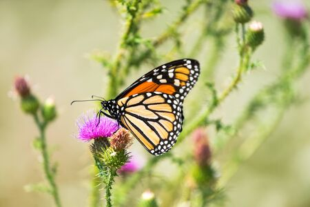 Monarch Butterfly Resting on a Thistle