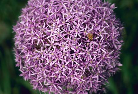 Bee pollinates allium flowers