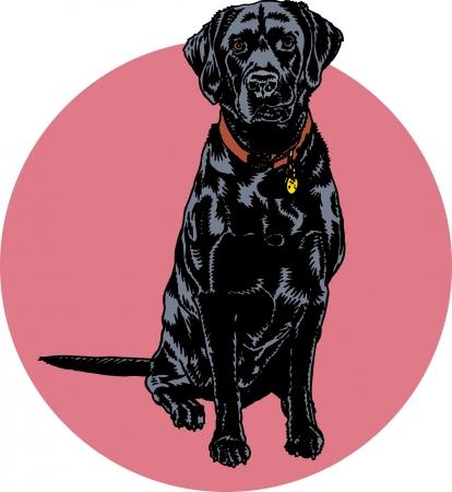 droopy: Labrador