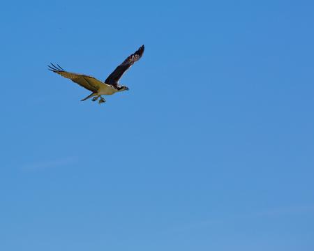 Osprey flying in Florida