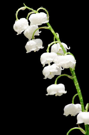 caulis: lily of the valley over black Stock Photo