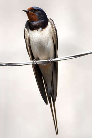 swallow on wire close-up over gray Stock Photo