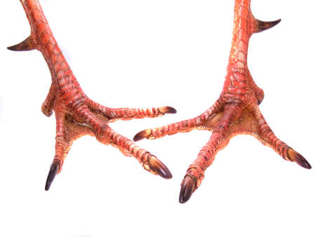 gobble: Pair of Gobbler male turkey feet, showing fighting spurs on backs of legs
