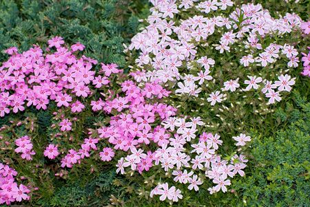 Pink and white variegated creeping phlox with green groundcover background.