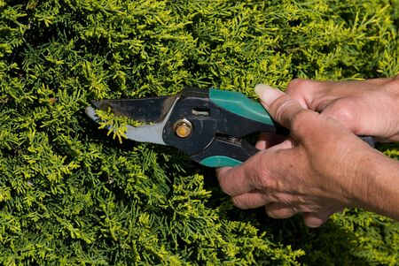 Pair of middle aged hands trimming a hedge.
