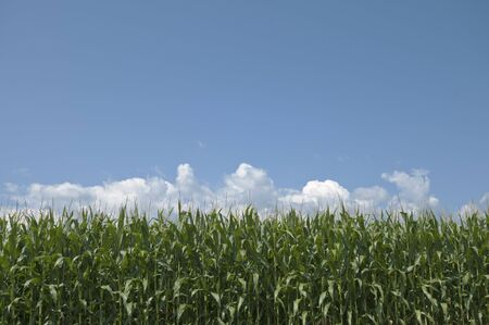 View of corn crop with blue sky background.