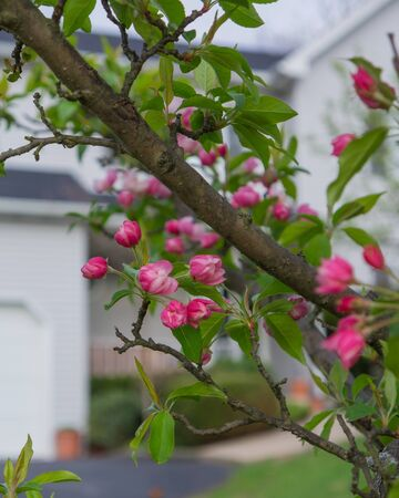 Close-up of Crabapple blossoms against an off-focus suburban home  Reklamní fotografie