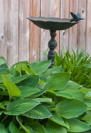 Hosta plant with birdbath and wood fence background. Focus on foreground leafs.