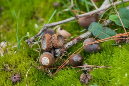 Acorns and acorn caps lying on a mossy forest floor.