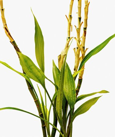 Bamboo plant with leaves and stems, white isolation