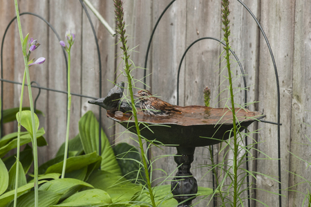 Sparrow bird gets soaked while playing in a cast iron bird bath. Reklamní fotografie - 43279237
