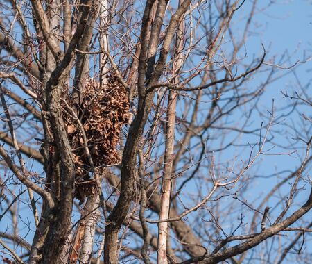 View of squirrel nest, sunny winter day no tree leaves amongst tangle of tree limbs.