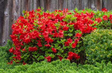 Red Azalea bush in full bloom in a garden setting. Weathered wooden fence background.
