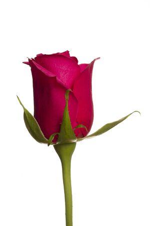 Pojedynczy kolor różowy wzrósł na białym tle