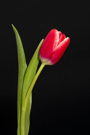 Single red tulip on black background