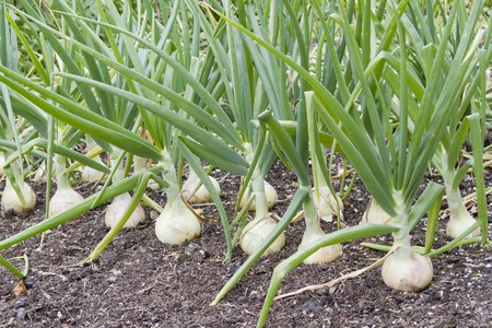 spring onion: Row of large onions growing in soil