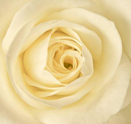 rosas amarillas: Cerrar una imagen �nica crema Rosa