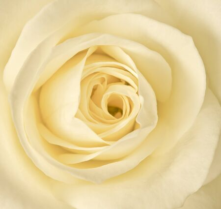 close up image: Close up image of single cream rose Stock Photo