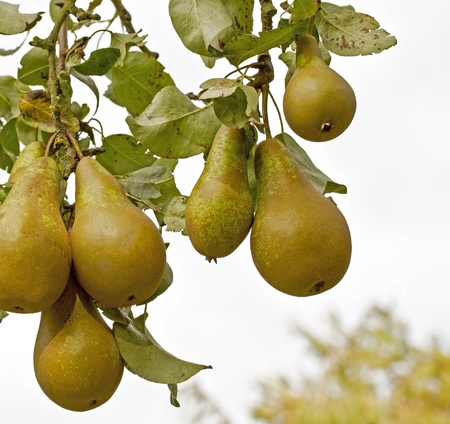 Pears on a tree Stock Photo