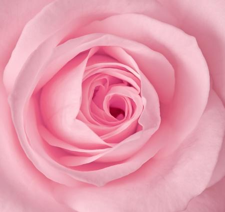 Zamknij się obraz jednego różowa róża Zdjęcie Seryjne