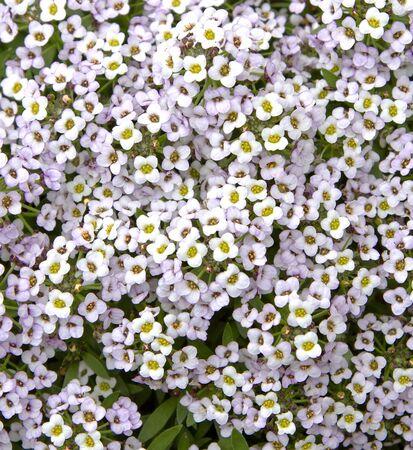 Zamknij się obraz kwiatów Alyssum Zdjęcie Seryjne
