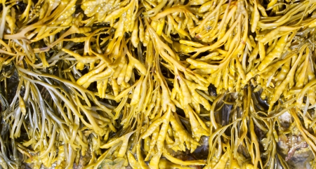 wrack: Channelled wrack, Pelvetia canaliculata Stock Photo