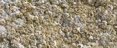 Barnacles on coastal rock