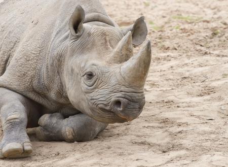 Biały nosorożec na glebie
