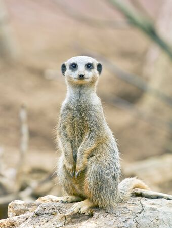 Meerkat standing on lookout photo