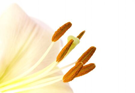 Closeup image of pollen on lily stamens Stock Photo