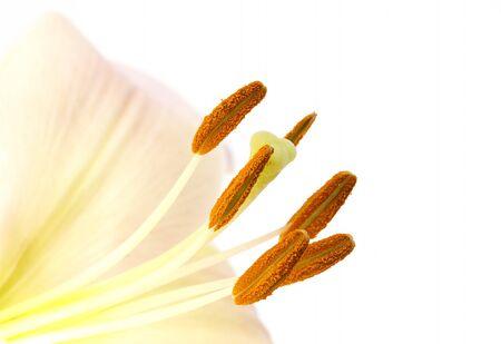 Obraz Zbliżenie pyłku na pręciki lilii