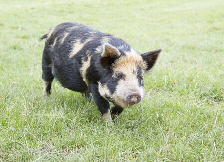 grunter: Rare breed Kunekune piglet in field