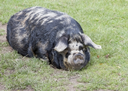 grunter: Sleeping rare breed Kunekune pig   Stock Photo