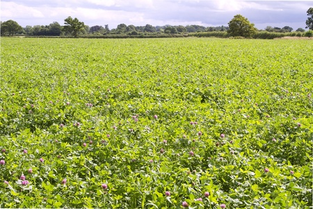 Field of red clover  Stock Photo - 15011587