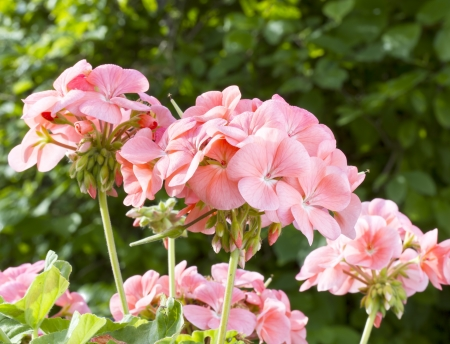 Pink geranium flowers  Pelargonium  Stock Photo