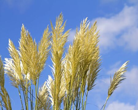 cane plumes: Pampas grass  Cortaderia selloana  with blue sky