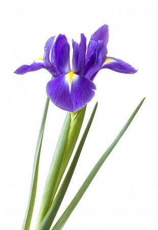 Pojedynczy fioletowy kwiat irys na białym tle