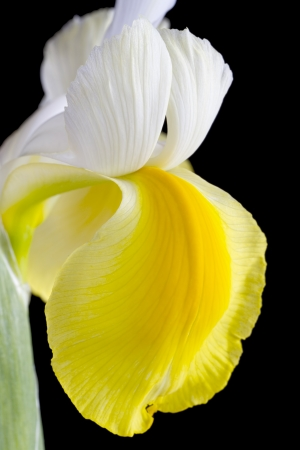 Close up yellow and white iris flower on black