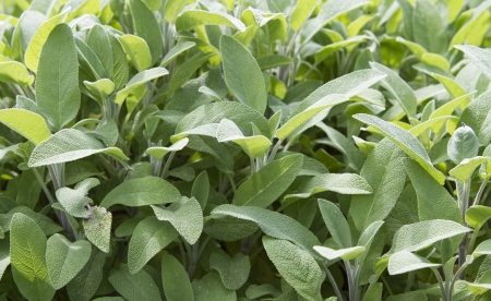 Sage Jurek uprawy roślin w ogrodzie Zdjęcie Seryjne