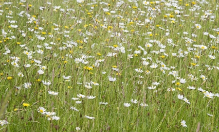 Daisies growing in summer meadow Stock Photo