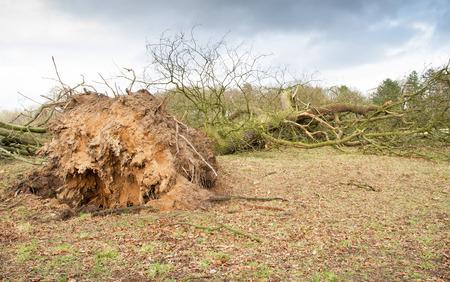 Burza uszkodzone zwalone drzewo z odkrytymi korzeniami