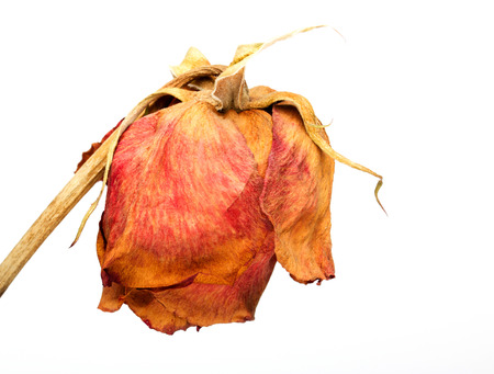 Dead dry red rose flower photo
