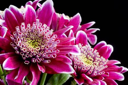 Zamknij się obraz ciemne różowe kwiaty chryzantemy na czarno